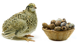 Adult quail and wood basket filled with eggs Stock Photos