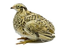 Adult quail of Yellow strain Stock Image