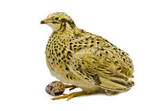 Adult quail of yellow strain with egg isolated on white background Royalty Free Stock Photo