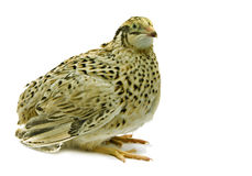 Adult quail of yellow strain isolated on white background Royalty Free Stock Photos