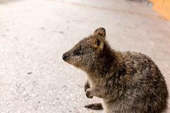 Quokka profile stock photos