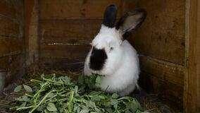 Adult rabbit chew fresh leaves in a shed