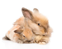 Adult rabbit hugging a newborn bunny. isolated on white. Background royalty free stock image