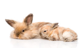Adult rabbit and newborn bunny. isolated on white background Royalty Free Stock Images