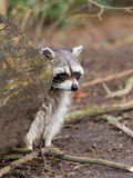 Adult raccoon at his nest Stock Photo