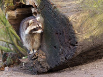 Adult raccoon at his nest Stock Photography