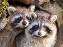 Adult raccoon at his nest Stock Images