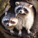 Adult raccoon at his nest Royalty Free Stock Image