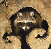 An adult of raccoon / Procyon lotor Royalty Free Stock Image