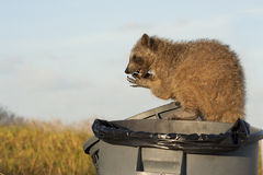 Adult Raccoon sitting down and eatting food Stock Photo
