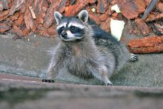 Adult racoon portrait. Royalty Free Stock Photography