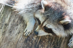 Adult racoon on a tree Stock Photos