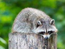 Adult racoon on a tree Royalty Free Stock Photography