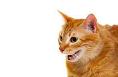 Adult red cat with overweigh. Isolated on a white background stock images