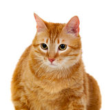 Adult red cat with overweigh Royalty Free Stock Image
