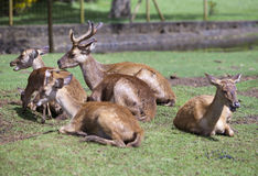 Adult red deer Royalty Free Stock Photo