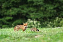 Adult red fox with catch bird on meadow in early morning - Vulpes vulpes Stock Image