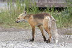 ADULT RED FOX ON GRAVEL ROAD STOCK IMAGE Royalty Free Stock Image