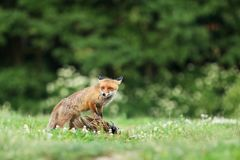 Adult red fox guarded catch bird on meadow in early morning - Vulpes vulpes. Red fox quarded prey on meadow - Vulpes vulpes Stock Image