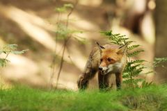 Crouched red fox in forest in summer - Vulpes Vulpes Royalty Free Stock Photos