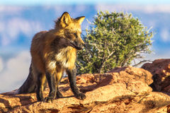 Adult Red Fox. Standing With Poise On Rocky Outcrop Royalty Free Stock Photography