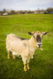 Adult red-haired goat grazing in a meadow. Stock Images