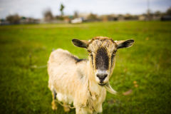 Adult red-haired goat grazing in a meadow. Stock Photos