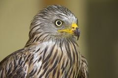 An adult red kite Milvus milvus rescued and resting in a wildlife rescue center. An adult red kite rescued and resting in a wildlife rescue center. Perched and stock images