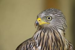 An adult red kite Milvus milvus rescued and resting in a wildlife rescue center. Perched and trying to recover from its wounds. An adult red kite rescued and royalty free stock photos