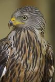 An adult red kite Milvus milvus rescued and resting in a wildlife rescue center. Perched and trying to recover from its wounds. An adult red kite rescued and royalty free stock photo
