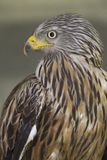 An adult red kite Milvus milvus rescued and resting in a wildlife rescue center. Perched and trying to recover from its wounds. An adult red kite rescued and royalty free stock image