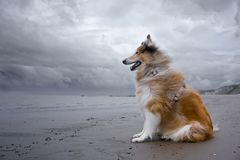 An adult red rough collie sits on the beach. Royalty Free Stock Photo