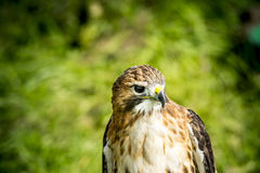 Adult red shouldered hawk Royalty Free Stock Photography