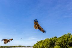 2 adult red-tailed hawk flies into the sun on a bright blue sky day. An adult red-tailed hawk flies into the sun on a bright blue sky day bird raptor predator royalty free stock image