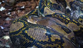 Reticulated python Python reticulatus coiled up. An adult reticulated python Python reticulatus, one of the world`s largest snakes, coiled up and sleeping royalty free stock photo