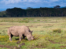 Adult rhino eating grass Stock Images