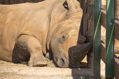 Adult rhino in a safari park Royalty Free Stock Images