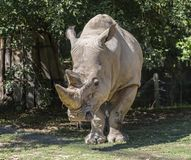 Adult rhino Stock Images