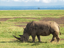 Adult rhino with two big horns grazing in a field with flowers on a background of trees and cloudy sky in the Nakuru National Par Stock Images