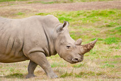 Adult Rhino Walking On Dry Grassland. African Animal With Large Horn On Nose Royalty Free Stock Photo