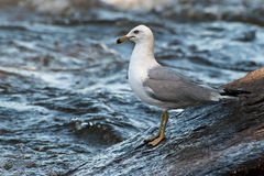 Adult Ring-Billed Gull. Standing on a rock along River Stock Photos