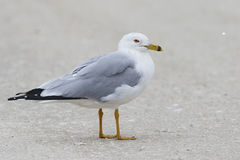 Adult Ring-billed Gull on a Florida Beach Stock Images