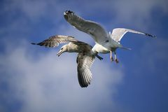 Adult Ring-billed Gull & a Youngsre flying. Above the sea in Roscoff Harbour, Brittany, Northwestern France Royalty Free Stock Images