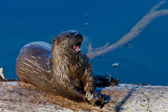 Adult Wild River Otter on Log Eating Fish Stock Images