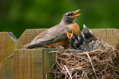 Adult robin with young Stock Photography