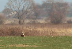 Adult roe deer in the field Royalty Free Stock Photo
