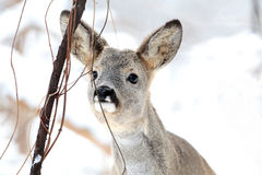 Adult roe deer in the forest in winter season Stock Images