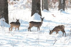 Adult roe deer in the forest in winter season Stock Photography