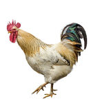 An adult rooster Stock Image