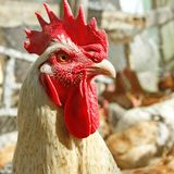 Adult rooster on the poultry yard Royalty Free Stock Images